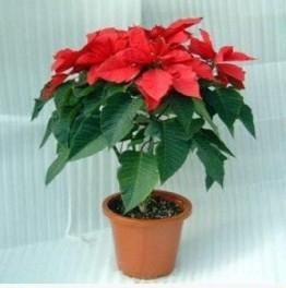100 Teile/beutel Weihnachtsstern Samen Euphorbia Pulcherrima Topfpflanzen Pflanzen Jahreszeiten Blütenpflanzen - 1
