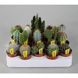 Blumen Senf Mini-Kakteen Set mit 10 Pflanzen + Sortenschilder Zimmerpflanze - 1