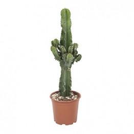 Botanicly - Sukkulenten/Kakteen – Wolfsmilch Kaktus (Euphorbia ingens) - 70cm Höhe z.B. als Geschenk für Männer - 1