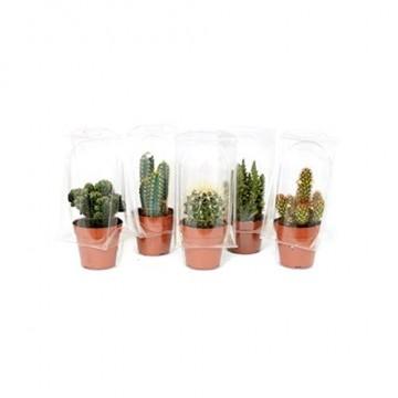 Desertworld Mini Kakteen & Sukkulenten Set - 20 Stück - Topfgröße Ø 6 cm - Pflanzenhöhe 8-15 cm - 4