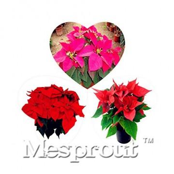 Echter Blumen Samen Versand Blumen barwinok Samen, Weihnachtsstern Amaranth, Keimung Rate 99%–50 - 2