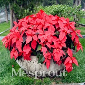 Echter Blumen Samen Versand Blumen barwinok Samen, Weihnachtsstern Amaranth, Keimung Rate 99%–50 - 3
