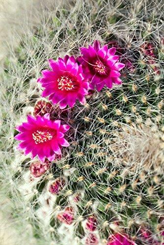 Kaktus Goldkugelkaktus - Echinocactus grusonii - Zimmerkaktus - verschiedene Größen (25cm - Kugel Ø 25-27cm Topf Ø27) - 2