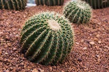 Kaktus Goldkugelkaktus - Echinocactus grusonii - Zimmerkaktus - verschiedene Größen (25cm - Kugel Ø 25-27cm Topf Ø27) - 3