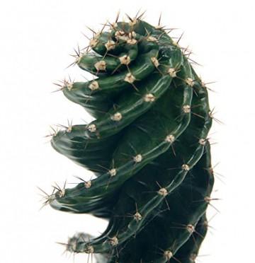 Spiralkaktus (Cereus forbesii spiralis) (im 11cm Topf, ca. 25cm hoch) - 2