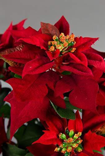 Seidenblumen Roß Weihnachtsstern Nature 38cm samt-rot im Topf PM künstliche Blume Kunstpflanze Kunstblumen Poinsettie - 2