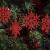 K KUMEED 36 Stück Weihnachtsbaum Deko Schneeflocken Deko Schneeflocken Christbaumschmuck Deko für den Weihnachtsbaum, Schneeflocken Weihnachtsbaum Christbaumschmuck Rot Weihnachtsbaum Schneeflocke - 4