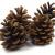 Sepkina 12 Tannenzapfen ca. 5-6cm Schwarzkiefern Zapfen Kiefernzapfen Tanne Naturzapfen Weihnachtsdeko Adventsdeko Herbstdeko - 3