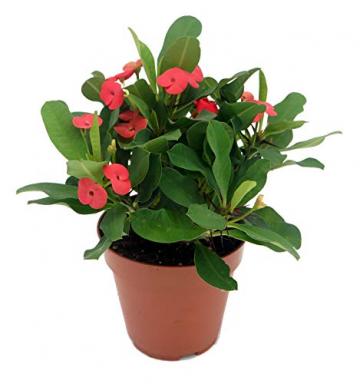 Christusdorn (Euphorbia millii), im 12cm Topf, (Sorte: Vulcanus, rot) - 1