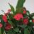 Christusdorn (Euphorbia millii), im 12cm Topf, (Sorte: Vulcanus, rot) - 2