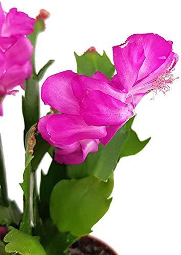 Fangblatt - Schlumbergera Esperito - Weihnachtskaktus mit pinken Blüten - hängender Kaktus - pflegeleichte Sukkuelnte - 2