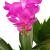 Fangblatt - Schlumbergera Esperito - Weihnachtskaktus mit pinken Blüten - hängender Kaktus - pflegeleichte Sukkuelnte - 3