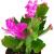 Fangblatt - Schlumbergera Esperito - Weihnachtskaktus mit pinken Blüten - hängender Kaktus - pflegeleichte Sukkuelnte - 4