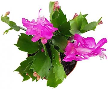 Fangblatt - Schlumbergera Esperito - Weihnachtskaktus mit pinken Blüten - hängender Kaktus - pflegeleichte Sukkuelnte - 6