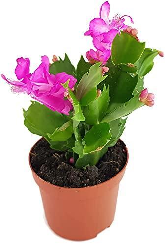 Fangblatt - Schlumbergera Esperito - Weihnachtskaktus mit pinken Blüten - hängender Kaktus - pflegeleichte Sukkuelnte - 1