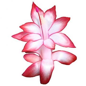 Schlumbergera   2er Set Weihnachtskaktus   Zimmerpflanze mit roter Blüte   Höhe 25-30cm   Topf-Ø 13cm - 2