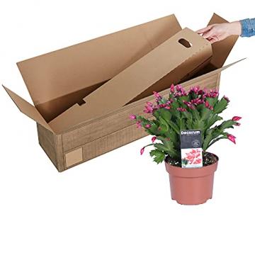 Schlumbergera   2er Set Weihnachtskaktus   Zimmerpflanze mit roter Blüte   Höhe 25-30cm   Topf-Ø 13cm - 3