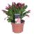 Schlumbergera   2er Set Weihnachtskaktus   Zimmerpflanze mit roter Blüte   Höhe 25-30cm   Topf-Ø 13cm - 1
